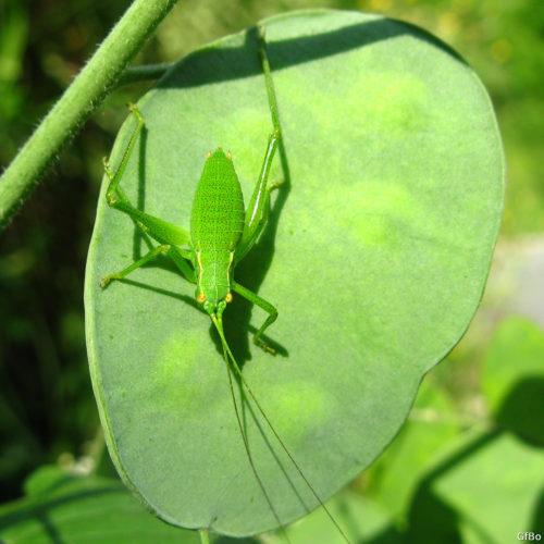 Lunaria frutto con insetto. Si intravvedono 6 semi all'interno del frutto.