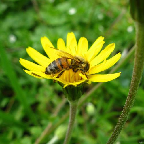 Tarassaco con ape