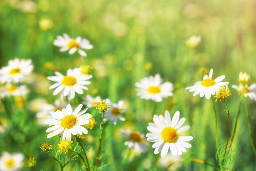 I fiori di Fibonacci