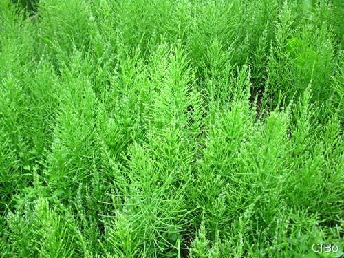 Equiseto, fusti sterili. Sembra una foresta di abeti ma in realtà le piante sono alte circa 40 cm.