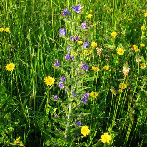La pianta dai fiori blu e rosa è erba viperina.