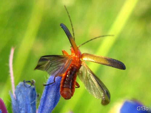 Un cantaride spicca il volo da un fiore di erba viperina. Notare le ali e le elitre.