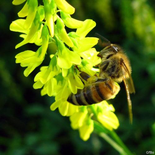 Un'ape visita il fiore del meliloto. Finalmente vediamo l'interazione fra due esseri viventi: un insetto e una pianta con fiori.
